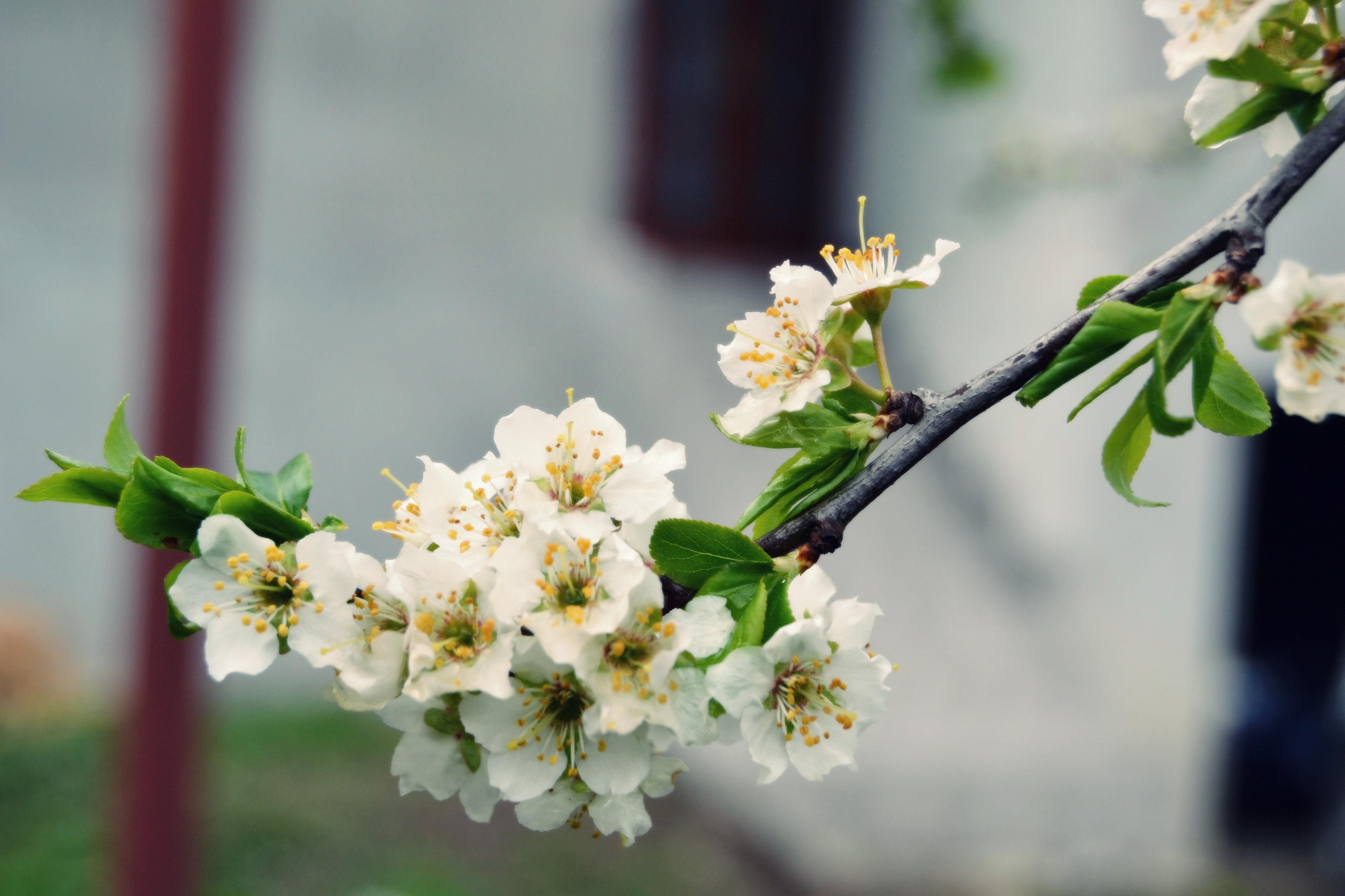 flori-de-zarzar-3_3de9f2b1dc817d